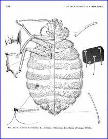 Cimex-lectularius