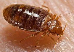 Krevetska stenica Medicinski naziv insekata Cimex lectularius slika manja  Fiziologija,detaljan opis i zivot stenica