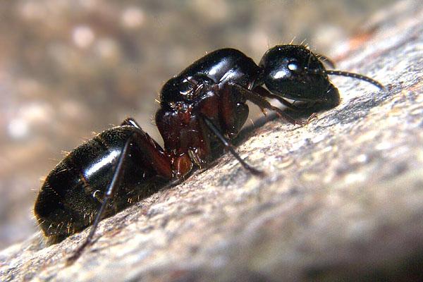 Mravi Formicidae