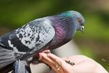 Po sletanju za tretiranoj povrsini golub dobija iz kandzi u centralnom nervnom signalu da je povrsina kontaminirana i da je treba izbegavati.AGencijaEko Kliners i sajt Dezinsekcija.net  Odbijanje i tretman golubova