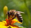 Protest pcelara ne samo u Indjiji i Vojvodini povodom primene nepropisnih herbicida i pesticida na biljke su dovele do velikog broja selidbe osa iz prirodnih stecista suma i pasnjaka u krovove i tavane vlasnika kuca i stanova sa terasama tokom 2012-e godine.