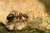Ridji Sumski mrav sajt Dezinsekcija.net
