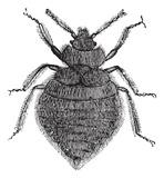 """Stenice-ilustracija odrasle jedinke,latinski naziv za stenice je """"Cimex lectularius"""".Sajt """"Dezinsekcija.net"""" i Preduzece """"Pest-Global Group DOO Beograd""""."""