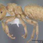 Zenka zutih mrava pogled sa strane celog tela.