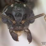 Zuti mravi-prikaz muzjaka pogled napred.Velicna mrava je svega 0.5 do 2 milimetra.