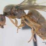 Zuti mravi prikaz matice u punoj velicini namenskim fotoaparatom.Velicina u ovom slucaju je svega nekoliko milimetara.