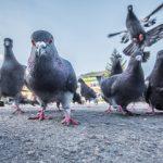 Uvecan broj golubova na terasama i bolesti respiratornih organa ukucana nakon kontakta i udisanjem izmeta golubova na terasama i tavanima.