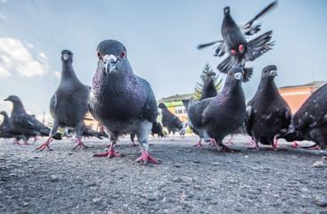 Nastanjivanje i odbijanje golubova.