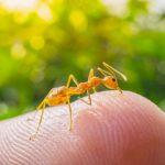 Kako unistiti zute mrave?