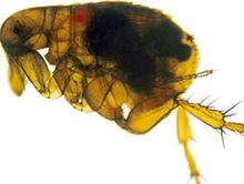 Prikaz i ilustracije pacovske buve uzrocnika pojave Kuge i bakterije Yersinie Pestis u srednjem veku od koje umrlo u Evropi preko 250.000 ljudi za manje od sto godina.Bakterija i uzrok su otkriveni tek 1894-e godine.