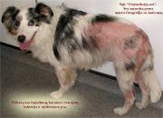 Prikaz nelecenog psa zahvacenim buvama i razvojem daljih komplikacija usled nebrige i neblagovremenog tretmana od strane vlasnika.