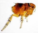 Buva i mogucnost da sa zadnjim nogama skoci preko 50 centimetara od zemlja a visoka je svega 3 milimetara predstavlja apsolutnog sampiona od svih insekata na Planeti po pitanju odnosa skoka i visine koji je u slucaju buva 1:150.Dakle sa svojih 3 milimetara visine buva moze skociti i do 60 centimatara u odredjenim slucajevima zbog cega je izuzetno opasna i teska za standardno mehanicko unistavanje i gde je jedini dokazani farmaceustki lek-hemijski efektivni tretman od strane strucnih sluzbi.