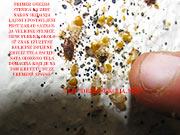 Prikaz gnezda stenica cele familijarne postavke na jednom mestu,ukljucujuci muzjake-zenku-noviizlegla jajasca i flekice od izmeta nastalih nakon ispijanja krvi domacina.KLIK NA SLIKU GORE ZA DETALJAN PRIKAZ I DALJA OBJASNJENJA.