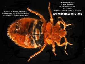 Cimex Pilosellus-ima izrazajne dlacice na telu za razliku od Ciimex Lectularius-a.Klik na sliku za uvecane detalje.