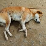 """Ujed krpelja kod pasa moze biti sa velikim posledicama,neretko moze doci i do uginuca psa ako se ne krene sa lecenjem i daljim medicinskim tretmanom.Sajt""""Dezinsekcija.net"""" i Preduzece """"Pest-Global Group""""DOO Beograd."""