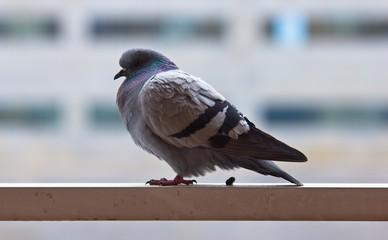 Kako oterati golubove sa terase i preparati za golubove i ujedno ciscenje terase i tavana i krova od golubova Beograd i Novi Sad.