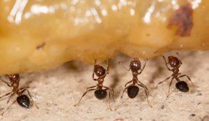 zuti mravi deratizacija beograd.