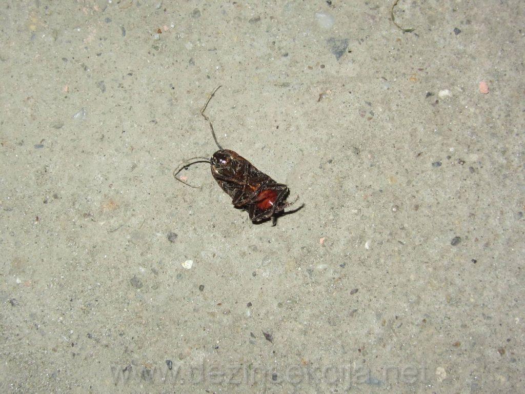 Prikaz bubasvabe nakon tretmana.Za razliku od bubarusa telo bubasvaba je oblo i deblje sa crvenastom unutrasnjom utrobom.