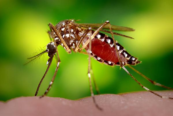 """Srbija je po statistici Evropskih medicinskih centara bila prva u Evropi tokom 2018-e godine po broju ljudi koje je ubio virus Zapadnog Nila koje prenosi ujed komaraca! Od jula 2018 do danas 2019 od te tropske bolesti, koja se kod nas odomaćila pre šest godina, a koju na ljude prenose komarci iz roda culex pipiens ili """"obični"""" komarci, dosad je umrlo 15 osoba, a zaraženo 159!"""