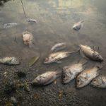 Masovni pomor ribe u kanalu kod Bačkog Petrovca, nadležni na terenu