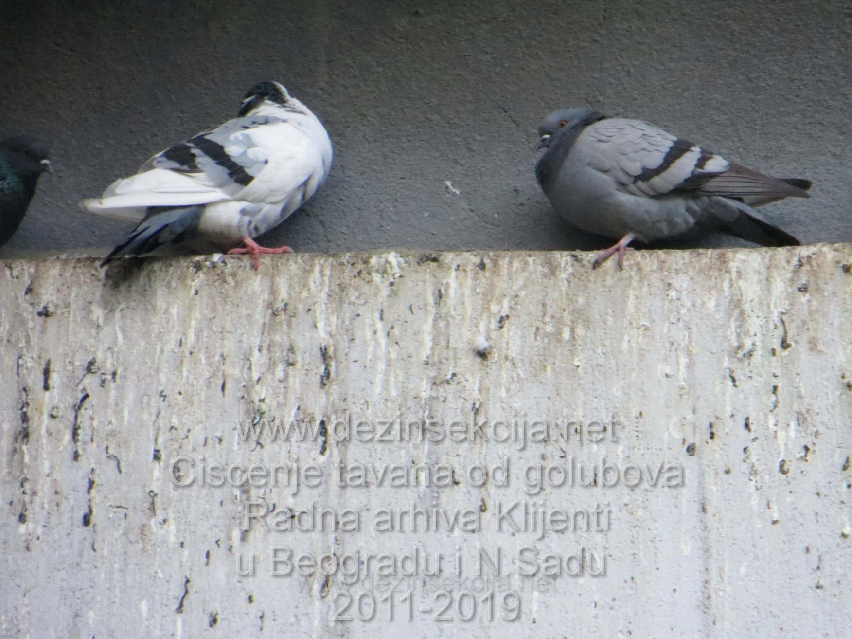 Ciscenje tavana od golubova i izmeta golubova autenticne fotografije nasih radnih timova i sertifikovanih podizvodjaca na vise lokacija u Beogradu i Novom Sadu od 2011-2019 godine.Svako specijalisticko ciscenje tavana ukljucuje ogroman broj ljudi na projektu cega Klijenti u Srbiji nisu svesni i ne zele da budu svesni.Autenticne fotografije iz nase radne prakse prezentuju dovoljan nivo ozbiljnosti i vizuelno dokaza zasto je ciscenje tavana od golubova jedna vrsta usko specificnih usluga koja se mora poveriti sluzbi sa iskustvom i referencama ne amaterima koji Vam dodju uzmu para i vise ih nikada ne vidite u zivotu a golubovi Vam i dalje slecu i dalje Vam smrdi i jurite se sa bubasvabama i bubarusima i neretko pticjim buvama koje Vas ujedaju tokom noci slicno stenicama a parazitiraju na perju golubova.Golub je vrsta leteceg pacova i mora se shvatiti VRLO VRLO OZBILJNO i pretnja po zdravlje svih ukucana.Svi nasi tretmani se realizuju strog po Zakonu o Sanitarnom Nadzoru R.Srbije clan.1-clan.41 uz postovanje svih pravila rada i zastite i primena Zakona o zivotinjama i pticama u naseljenim podrucjima.