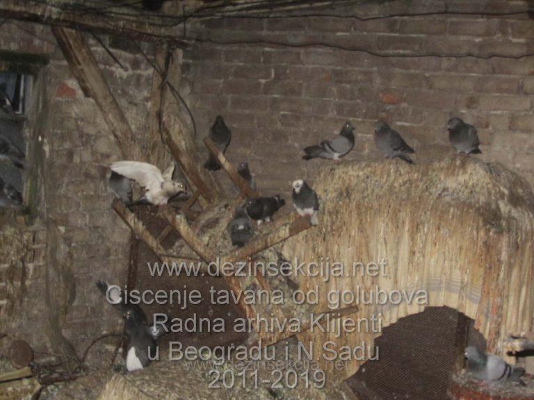 Zateceno stanje tavan ulica Boska Buhe u Kotezu,Beograd,SO Palilula od golubova.