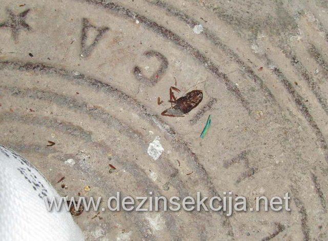 Uginuta bubašvaba u kanalizaciji nakon doziranja.