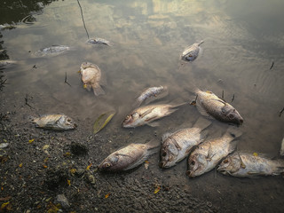 Uginuta riba kod Sombora od Pesticida.novembar 2019.