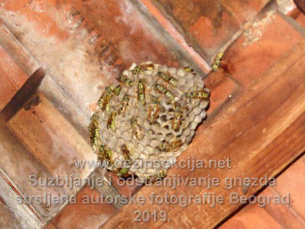 Regulacija i odstranjivanje gnezda stršljena.Postupak pripreme i sanitarnog pregleda.Autorske fotografije na licu mesta.Beograd 2016 e godine.