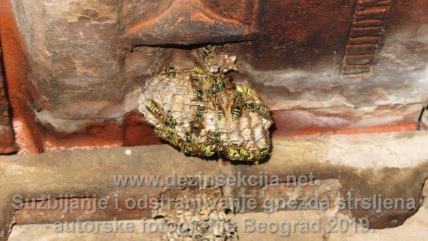 Gnezdo stršljena u samom startu starosti nekih 15 ak dana.Autorska fotografija Klijent u Beogradskom naselju Kumodraž opština Voždovac tokom leta 2016 e godine.