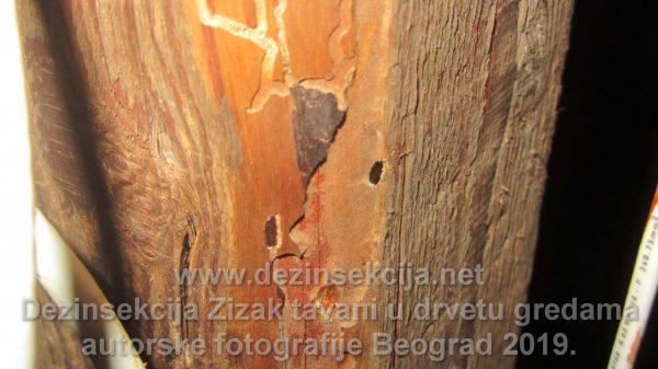 Pojedena greda na tavanu Klijenta žiška.Radna fotografija.Autorske fotografije Klijent u Boegradskom naselju Sremčica.