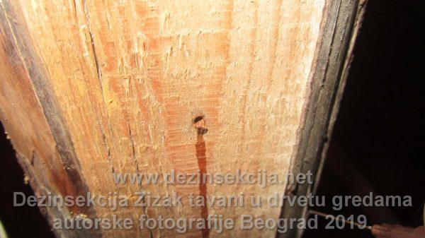 Žižak u drvetu autorske fotografije.Zahvaćene grede na tavanu kuće.Izostanak regulacije žižka neretko nakon par godina uključuje kompletno renoviranje krova i skidanje svega što u sebi sadrži drvo.U prikazanoj rupici se nalazio žižak koji izlazi vani nakon blagovremenog ubrizgavanja selektovanih insekticida od strane naših sanitarnih inženjera.