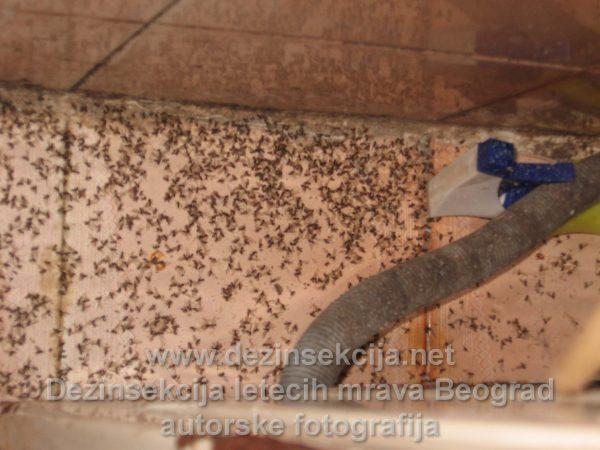 Dezinsekcija letečih mrava u Beogradu radna praksa i fotografije nakon radnog učinka.Beograd 2016 e godine.
