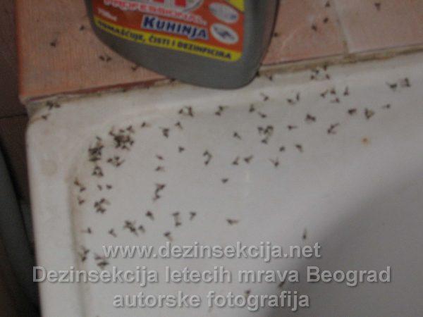 Leteči mravi prikaz naših DDD tehnologa u vidu autorske fotografije nakon završene dezinsekcije u Beogradskom naselju Bele Vode.Obično pojava letećih mrava je jako izražena po završetku kišnih padavina i neobezbedjenin naslagama zemlje u blizini.