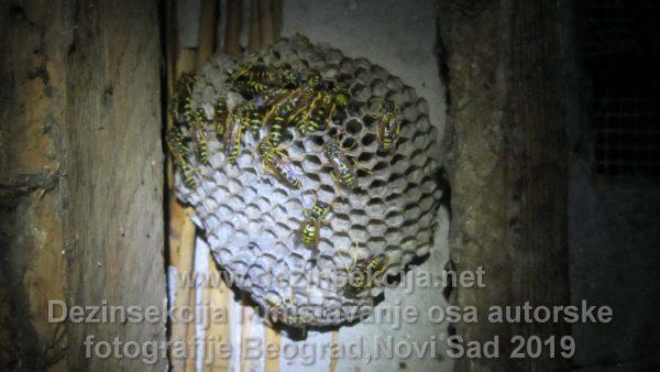 Gnezdo osa osinjak.Autorske fotografije selo Mislođin kod Obrenovca u napuštenoj vikendici gde dugo vremena niko nije boravio.