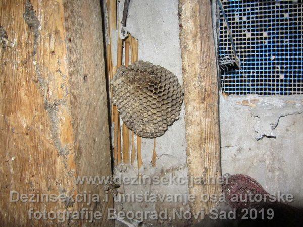 Gnezdo osa u vikendici u Beogradskom naselju Bečmen blizu Surčina.Radna autorska fotografija dezinsekcije osa 2015 e godine.