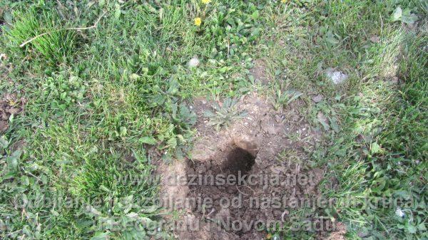 Deratizacija u odbijanje krtica.Primeri iz radne prakse.Autorske fotografije Klijent Vrdnik kod Novoga Sada.