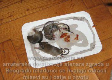 Miševi neuspešna deratizacija naših sugradjana u Beogradu i Novom Sadu