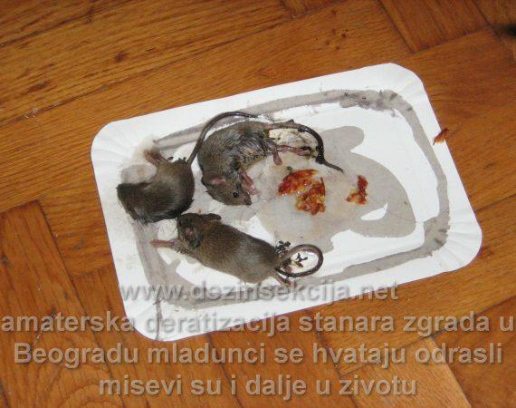 Uhvaćeni miš fotografija naših terenaca od strane jedne Beogradske porodice putem lepka i slanine.Problem su ženke i odrasli miševi koje se u praksi nikad ne hvataju na ovakve amaterske postavljene zamke.Nakon tog saznanja Klijenti zahvaćenim glodarima u Beogradu i Novom Sadu odlučuju da uposle profesionalno lice sa referencama.