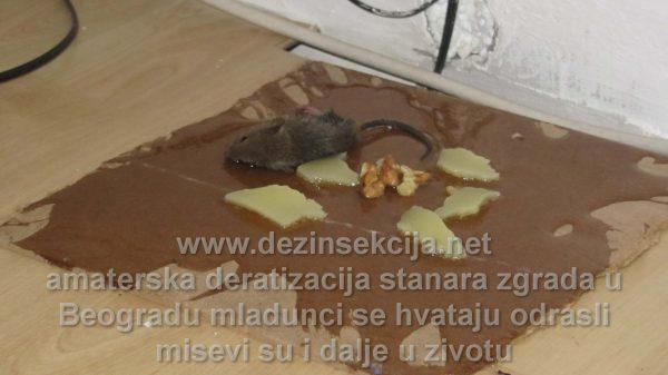 Prikaz amaterske deratizacije miševa i pacova u Beogradskim opštinama Vračar i Palilula od strane starijeg sugradjanina.