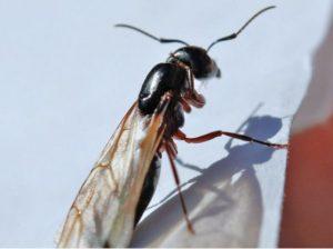 Leteci mravi dezinsekcija Beograd i Novi Sad.Fotografija slike leteci mravi.