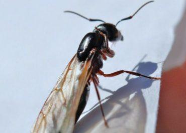 Leteci mravi u Beogradu i Novom Sadu