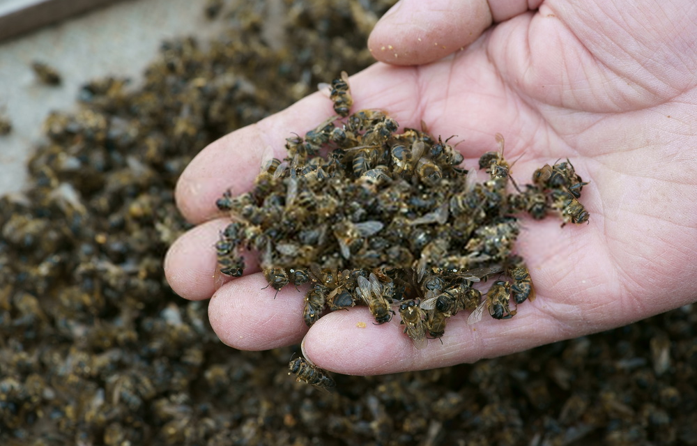 """Pomor pčela i nebriga države u nekontrolisanoj upotrebi pesticida,insekticida i nekontrolisane dezinsekcije flore i faune u toku vremena cvetanja voća.Svest o pčelama u Srbiji je među najnižima u Evropi.Umesto da radimo na reprodukciji pčela mi ih ubijamo neznanjem,""""preporukama prijatelja da se prska onim pesticidima"""" i činimo sve da ostanemo i gladni i bolesni jer smo kao nacija ubeđeni""""da sve znamo i da nama ne treba niko da priča i objašnjava kako se radi prskanje dvorišta,šume,placa..."""""""