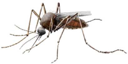 """Virus Zapadnog Nila u uzorcima i komaraca i inficiranih sugrađana u Vojvodini,Beogradu i ostalim mestima u Srbiji.Ujed inficiranim komarcima i sama bolest Virusa Zapadnog Nila se često manifestuje kao jači grip a po izjavama naših sugrađana i kao lažni pozitivni test""""na koronu"""" iako sa koronom nema nikakvih dodirnih bioloških sličnosti.Zato je vrlo bitna prevencija u smislu sertifikovane dezinsekcije koja reguliše komarce preparatima produženog dejstva na površinama gde se preparati u regulaciji komaraca nanose ali sa druge strane omogućuju nesmetani i bezbedan boravak ukućana,uposlenika i domaćih životinja po završenom tretmanu."""